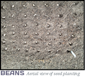 Aerial View of Bean Seeds Planting (Survival Seeds Gardening)