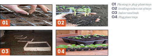 Broccoli: Planting Trays and Seed Beeds (Survival Seed Gardening)